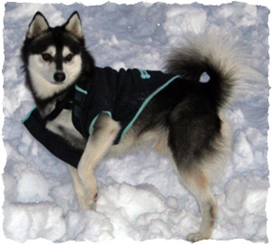 Alaskan Klee Kai Highly Intelligent Breeds