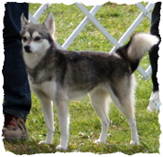 Gray and white Alaskan Klee Kai named Pixie from Klee Kia Magic Kennels
