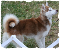Syrah is a auburn red example of an alaskan klee kai